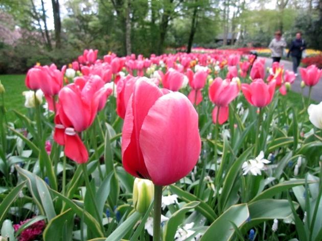 第一次看鬱金香花展,我想有過百種的鬱金香