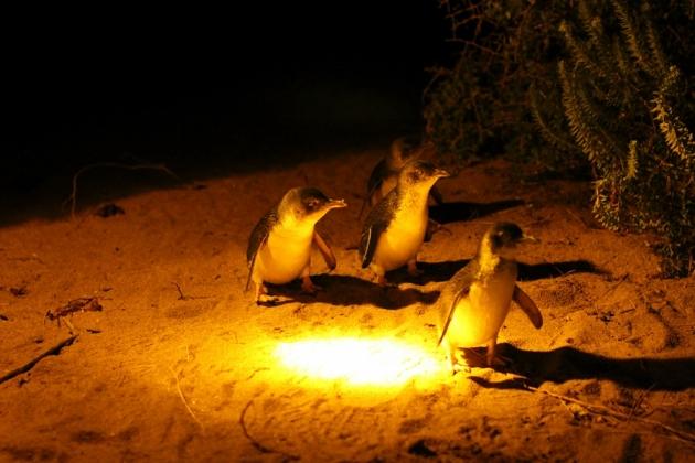 左搖右擺地走,企鵝真的十分可愛
