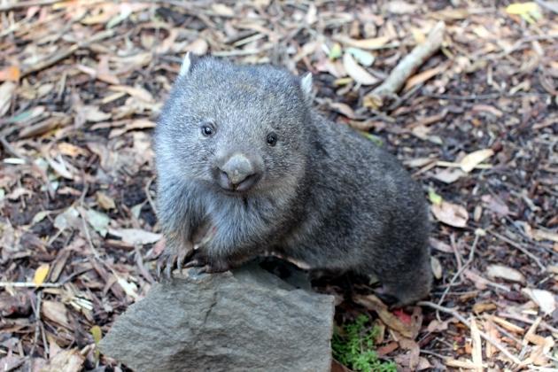 第一次認識這Wombat小動物,很可愛
