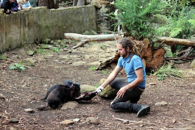 導賞員帶來了一隻被車撞死了的動物屍體餵給他們吃