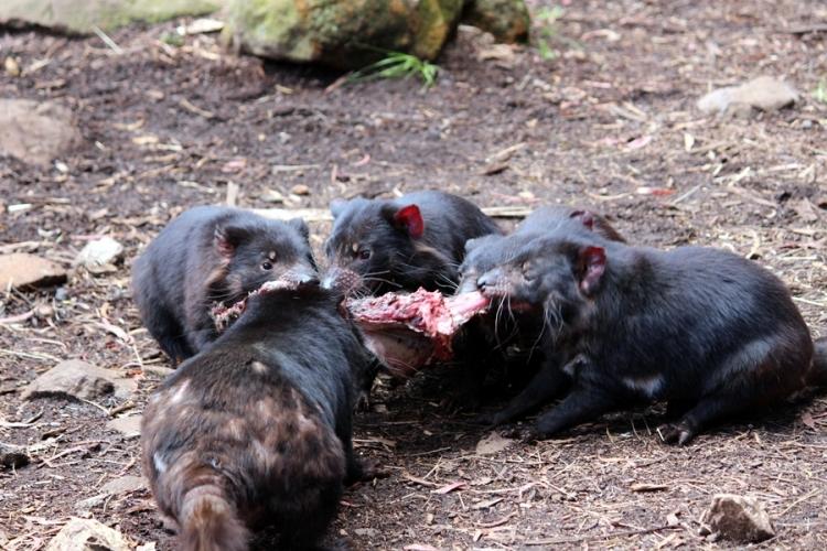 一問到肉味,其他幾隻Devil也衝了出來搶食物,不消一會,連骨連皮也消失了