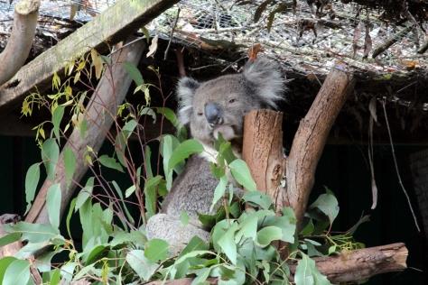 還有另一個澳洲特產,樹熊