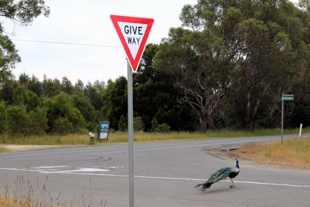 這裡上演了一幕動魄驚心的孔雀展翅閃避貨車的鏡頭。Give Way,不限於車和車,還有動物