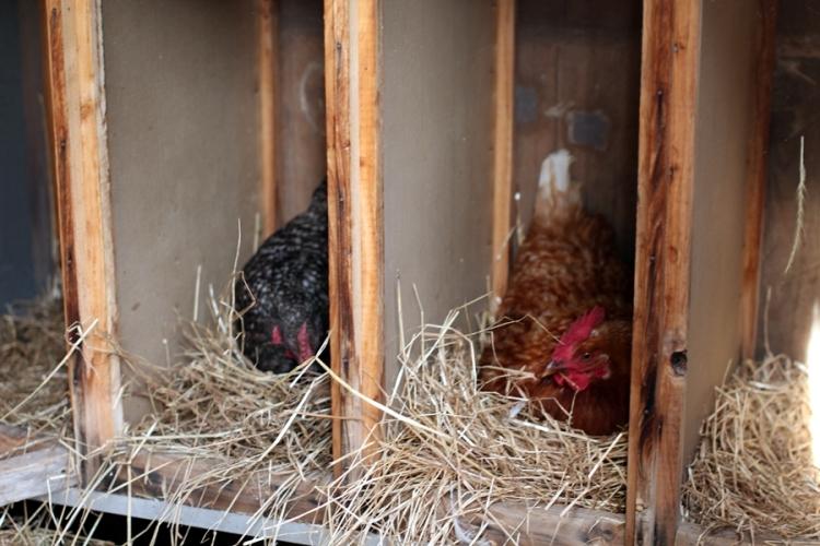 還有偷看母雞生蛋