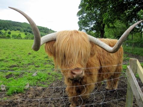 在Callandar停在一個農場裡休息,最出名的是這隻叫Hamish的高地牛牛