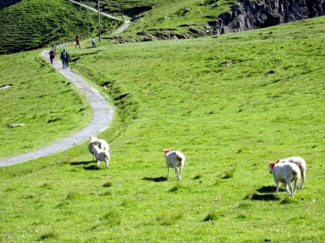 這裡的羊一看到人就立刻跑開,好像知道我昨晚去過羊肉一樣